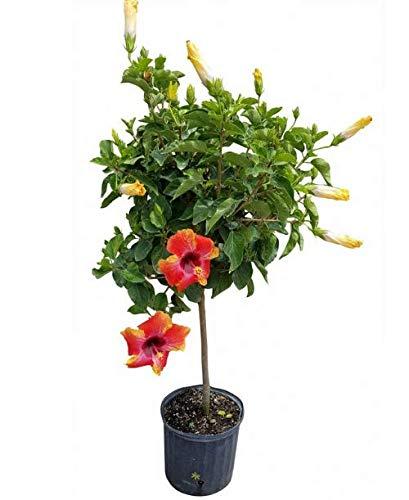 PlantVine Hibiscus rosa-sinensis 'Fiesta', Tropical Hibiscus - Large, Bush - 8-10 Inch Pot (3 Gallon), Live Plant by PlantVine (Image #2)
