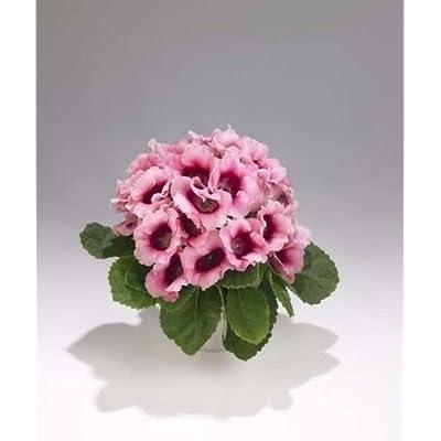 25+ BI-COLOR PINK EMPRESS GLOXINIA FLOWER SEEDS : Garden & Outdoor