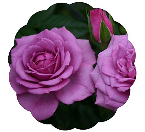 Lavender Veranda Rose Bush Reblooming Purple Fragrant Rose Grown Organic Potted - 35+ Petal ()