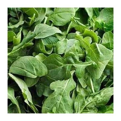 HOT - Arugula Herb Seeds/Eruca Sativa/Annual 65 Seeds : Garden & Outdoor
