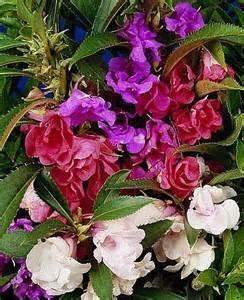 30 Impatien Seeds- Camelia Flowered Mix