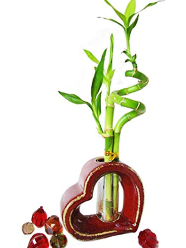 9GreenBox - Lucky Bamboo - Spiral Style with Hollow Heart Shaped Ceramic Vase Black 4.75' Black House