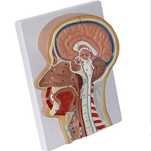 - XIEJI Nasal Lcavity Larynx Model Brain Anatomical Model Human Anatomy Life Size Median Section Model Medical Teaching Research Aids