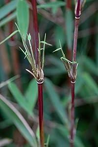 Greenone Roter Bambus Fargesia Jiuzhaigou Winterhart Und Schnell