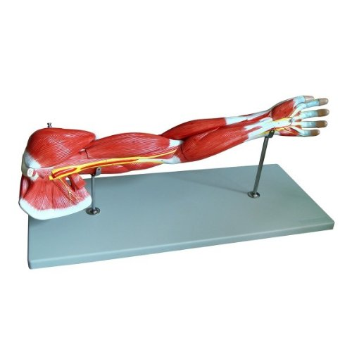 Wellden Product Medical Anatomical Muscular Arm Model, 7 Parts, Life Size - Skeleton Muscle
