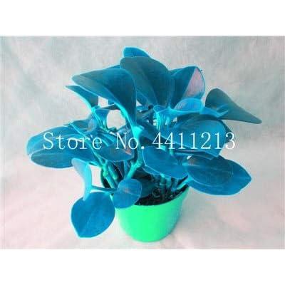 Fotcus Hot Sale 100 Pcs Peperomia Sandersii Plant Exotic Flower Bonsai Melon Leaves Bonsai Decoration Gift Home & Garden - (Color: 1): Garden & Outdoor