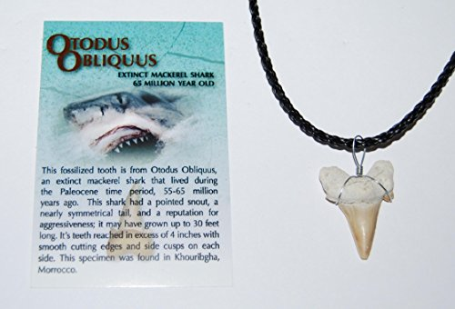 OTODUS Shark Tooth Necklace Genuine Fossil 1 1/4 to 1 1/2 inch Size M #970 2o ()