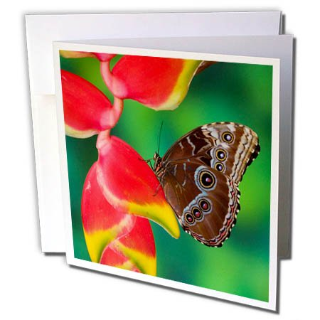 Tropical Wedding Postage (3dRose Danita Delimont - Butterflies - Tropical Butterfly the Blue Morpho hanging on Heliconia tropical plant - 1 Greeting Card with envelope (gc_278014_5))