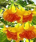 100 pcs mix colors bonsai fragrant flower dwarf brugmansia datura seeds rare brugmansia angel trumpets for home garden plants
