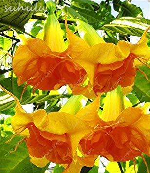 - 100 pcs mix colors bonsai fragrant flower dwarf brugmansia datura seeds rare brugmansia angel trumpets for home garden plants