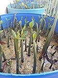 5 Live Mangroves Plants Red Mangrove Seedlings Filtration Aquarium Aquatic Plant