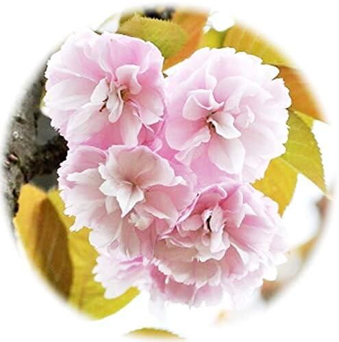 桜 苗木 紅時雨 12cmポット苗 べにしぐれ さくら 苗 サクラ
