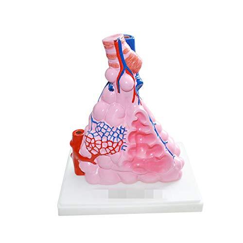 - juler Alveolar Model Respiratory System Human Organs Junior high School Biology Teaching Demonstration Medicine, One Size