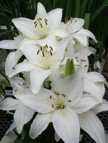 White Asiatic Lily Bulbs(6) Graceful Fragrant Flowering Garden Bonsai Home Decoration ()