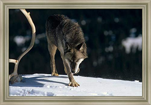 Approaching Wolf - Framed Canvas Wall Art Print | Home Wall Decor Canvas Art | Timber Wolf Approaching, North America by Konrad Wothe | Modern Decor | Stretched Canvas Prints