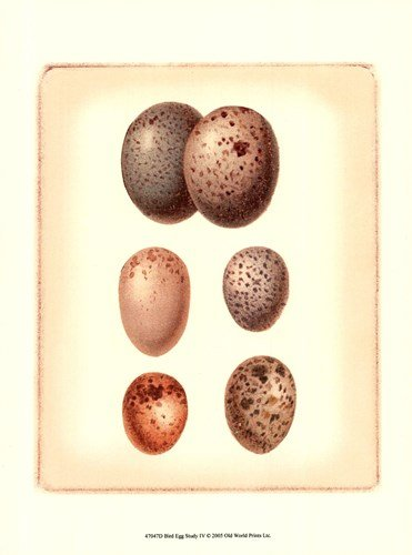 Bird Egg Study IV by Vision Studio - 9.5x13 Inches - Art Print - Study Egg Studio Vision Bird