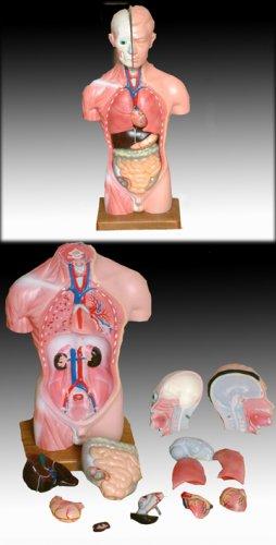 Torso, 45cm, 13-TEILIG, mit Organen, Anatomie Modell: Amazon.de ...