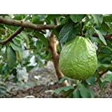 Thai Guavas Tropical Fruit Trees 36 inch Height in 3 Gallon Pot #BS1