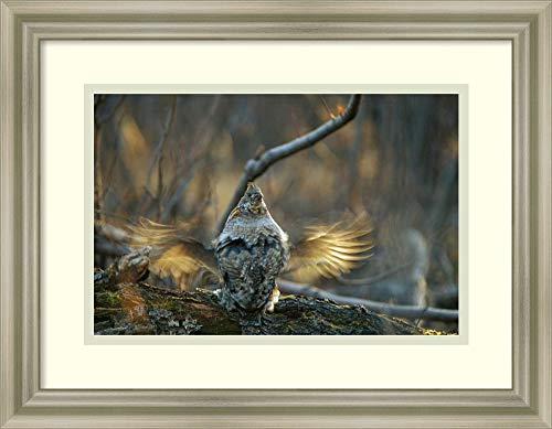 Framed Wall Art Print Ruffed Grouse Male Drumming During Courtship North America by Michael Quinton 17.75 x 13.75