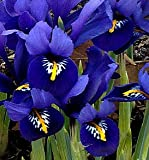 (5) Beautiful Flowering Dutch Iris Reticulata Blue Harmony Bulbs