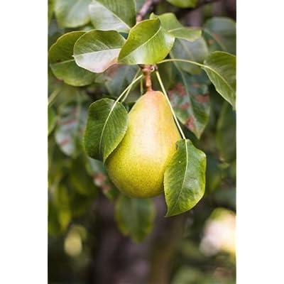 25 European PEAR Tree Pyrus Communis Fruit Seeds - White Flowers/Green Fruit : Garden & Outdoor