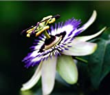 Passion Flower Passiflora Caerulea 10 seeds Tropical Climbing Vine