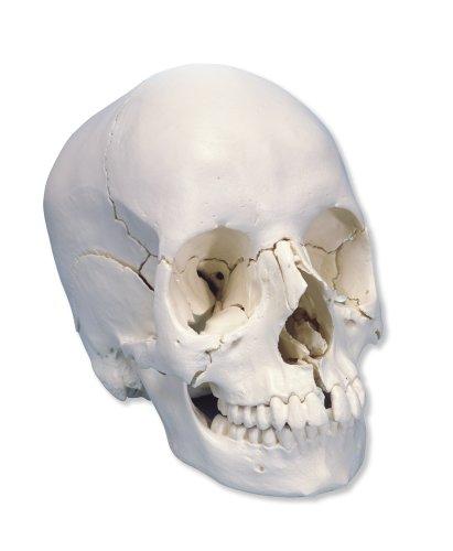 3B Scientific Skull Kit by 3B Scientific (Image #1)