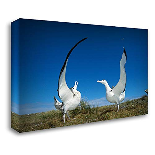 (Gibsons Wandering Albatross Courtship Display, Adams Island, Aucklands Group, New Zealand 40x28 Gallery Wrapped Stretched Canvas Art by De Roy, Tui)