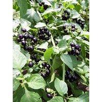 -Bulk- GARDEN HUCKLEBERRY BUSH 'Great for Gems, Jelly & Pies' 350+Annual Seeds