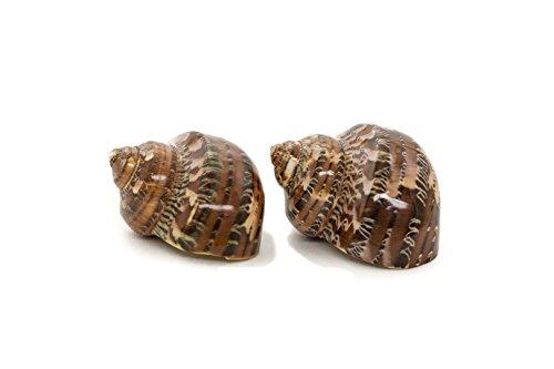 Hermit Crab Home Turbo Shell | Brown Petholatus Polished Turbo Shells | 2 Turbo Shells 2-2.5
