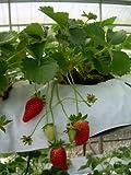 Alpine Strawberry Alexandria 30 Seeds Per Packet