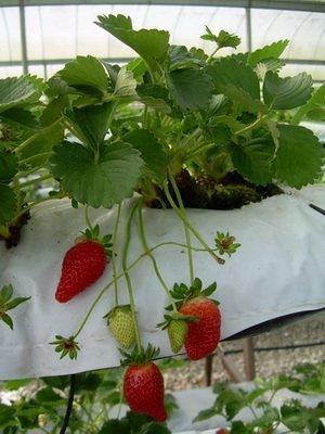 Alpine Strawberry - Alpine Strawberry Alexandria 30 Seeds Per Packet