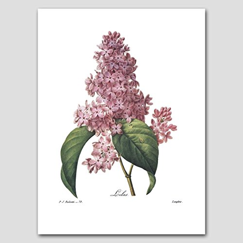 Lilac Art (Cottage Home Wall Decor, Redoute Botanical Flower Artwork) Nature Print - Unframed
