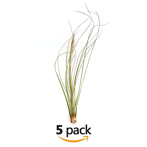 The Drunken Gnome AIR PLANTS – JUNCEA SMALL – 5 PACK - air purifying flowering tillandsia for terrarium, fairy garden starter kit, home office, indoor outdoor, corporate gift (5 PACK, Small - 3-6