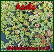 Azolla Live Aquatic Plant 1 Cup