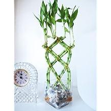 9GreenBox - Live 8 Braided Lucky Bamboo Plant Arrangement w/ Pebble & Vase