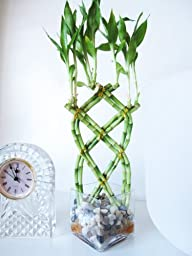 9GreenBox - Live 8 Braided Lucky Bamboo Plant Arrangement w/ Pebble & Vase