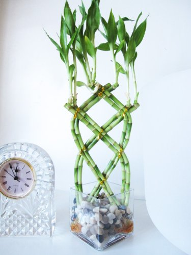 9GreenBox-Live-8-Braided-Lucky-Bamboo-Plant-Arrangement-w-Pebble-Vase