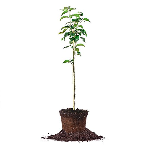 SHINSEIKI Asian PEAR Tree - Size: 5-6 ft, Live Plant, Includes Special Blend Fertilizer & Planting Guide ()