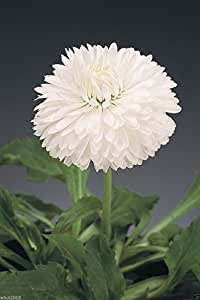 300 Bellis Seeds - White - Super Enorma Double - English Daisy