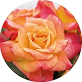 Joseph's Coat Rose Bush Apricot Climbing Rose 4'' Pot Organic Grown USA