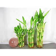 """9GreenBox Live Lucky Bamboo Plant Set 4""""x10, 6""""x10,8""""x10 Total 30 Straight Bamboo"""