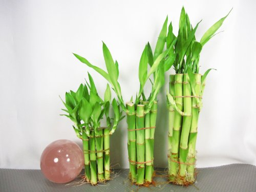 9GreenBox: Lucky Bamboo - Set 4'' x10, 6'' x10, 8'' x10 by 9GreenBox.com