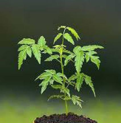 Patpert Agrotech Kadulimba, Azadirachta Indica and Neem, The