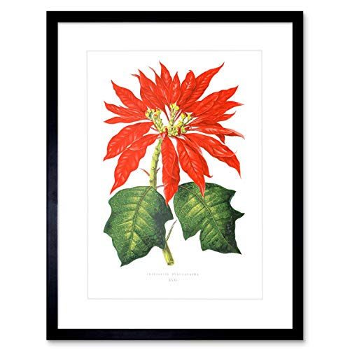 (Wee Blue Coo Flower Poinsettia Pulcherrima Christmas Art Print Framed Poster Wall Decor 12x16 inch)