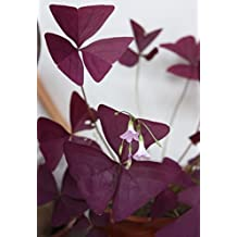 3 Packs 6 of Red Oxalis Woodsorrel Triangularis Flower Seeds A058