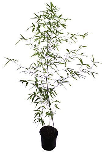 Incense Bamboo Phyllostachys Atrovaginata (2 Gallon 2-3 feet Tall) by Lewis Bamboo (Image #8)