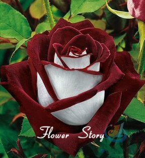 20 semi Abracadabra rosa, colore raro, Osiria Rose semi splendidi ...