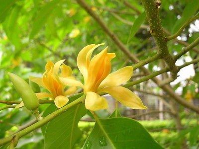 Amazoncom Magnolia Champaca Live Plant Yellow Flowers Garden