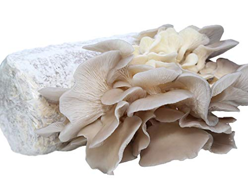 (Oyster Mushroom Growing Kit Log Organic Non-GMO 3 lbs Log by Dave Mushroom farm - Grow Your own Delicious Organic Oyster Mushrooms at)